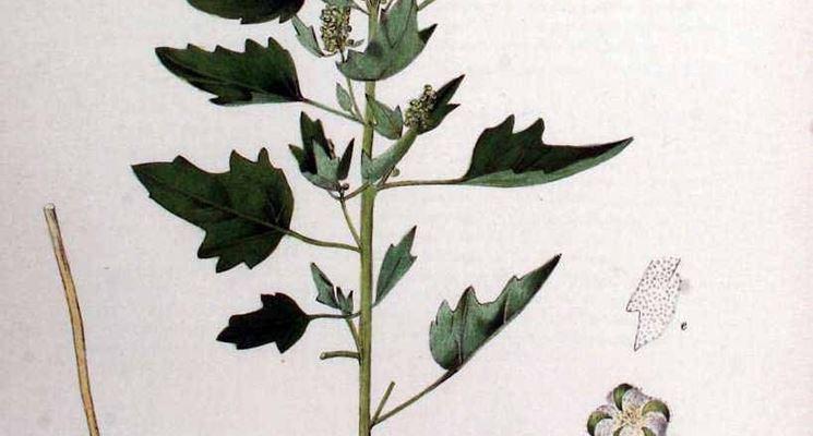 Disegno botanico del chenopodium quinoa