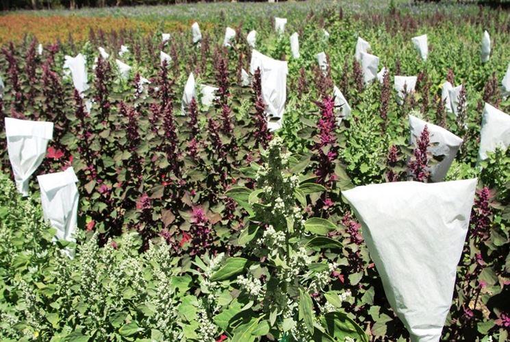 Campo coltivato di quinoa