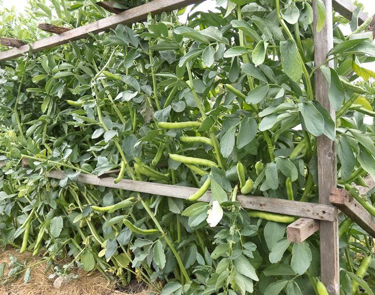 piante di fave