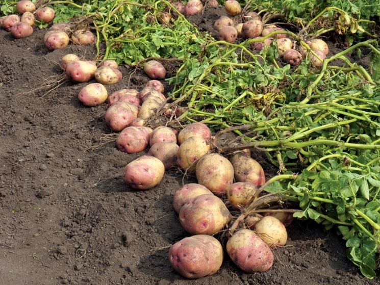 Patate raccolte