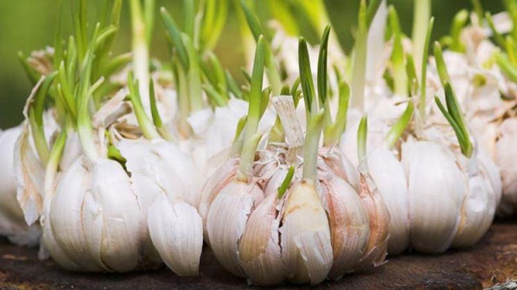 Germinazione dell'aglio