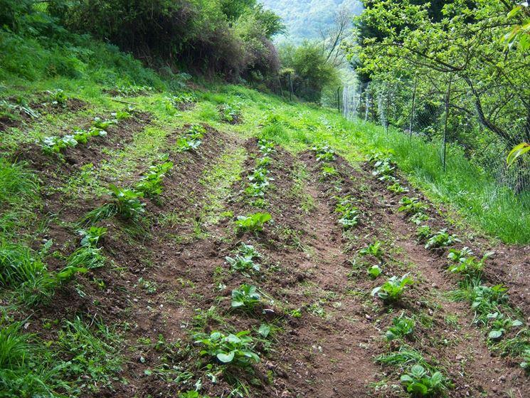 Orto coltivato patate
