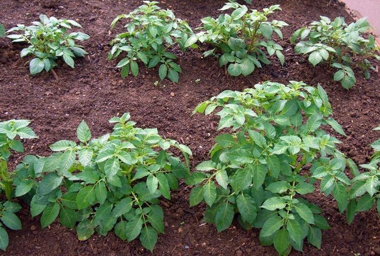 Piantine patate