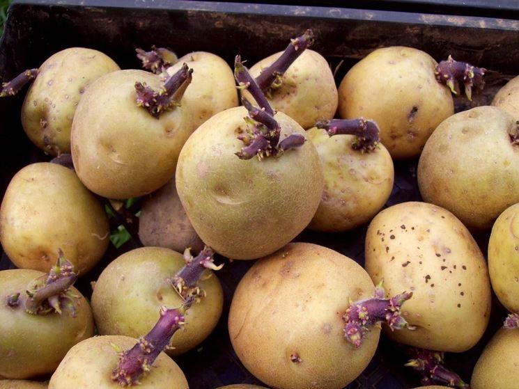 Mini-tuberi  Fonte foto ( http://www.ardcarneplantsplus.ie )