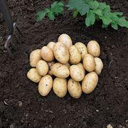 seminare patate