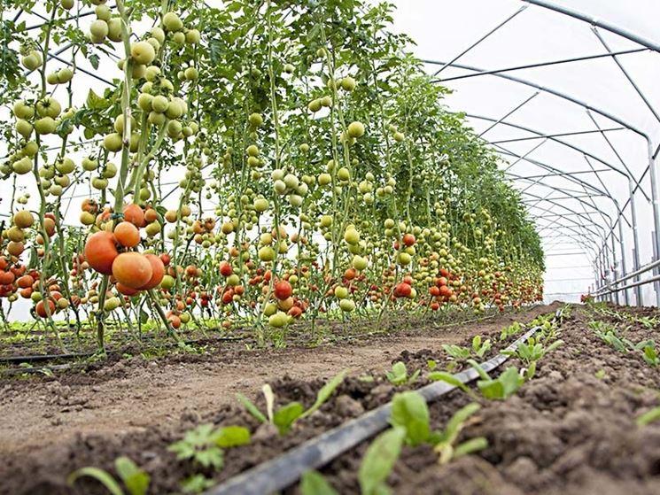 serra pomodori verdure