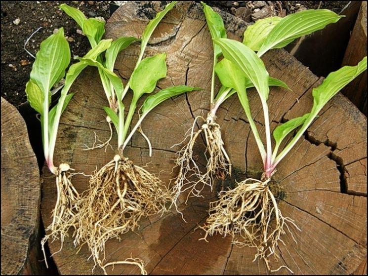 Trapiantare piante ortaggi come trapiantare piante for Piante da frutto che resistono al freddo