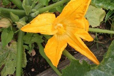 Un fiore di zucchina sbocciato