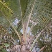 Pianta di Palma da Cocco