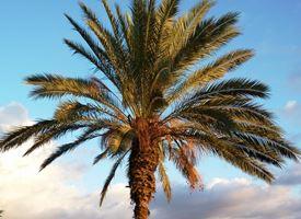 Palma da dattero - Phoenix dactylifera