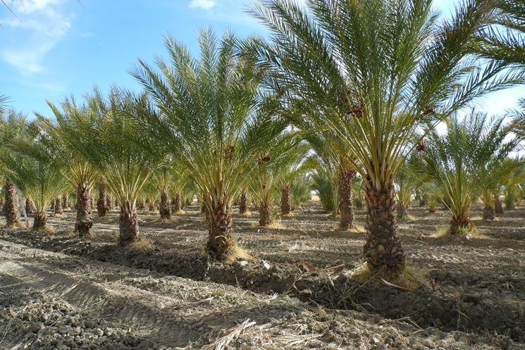 coltivazione palma