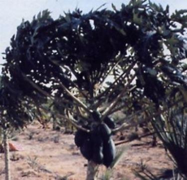 Pianta di papaya