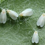 parassiti piante