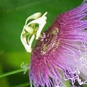 passiflora coltivazione