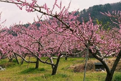 Pesco prunus persica alberi da frutta for Pianta di ciliegio