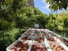 Pesco prunus persica alberi da frutta for Monilia del pesco