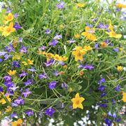 piante annuali