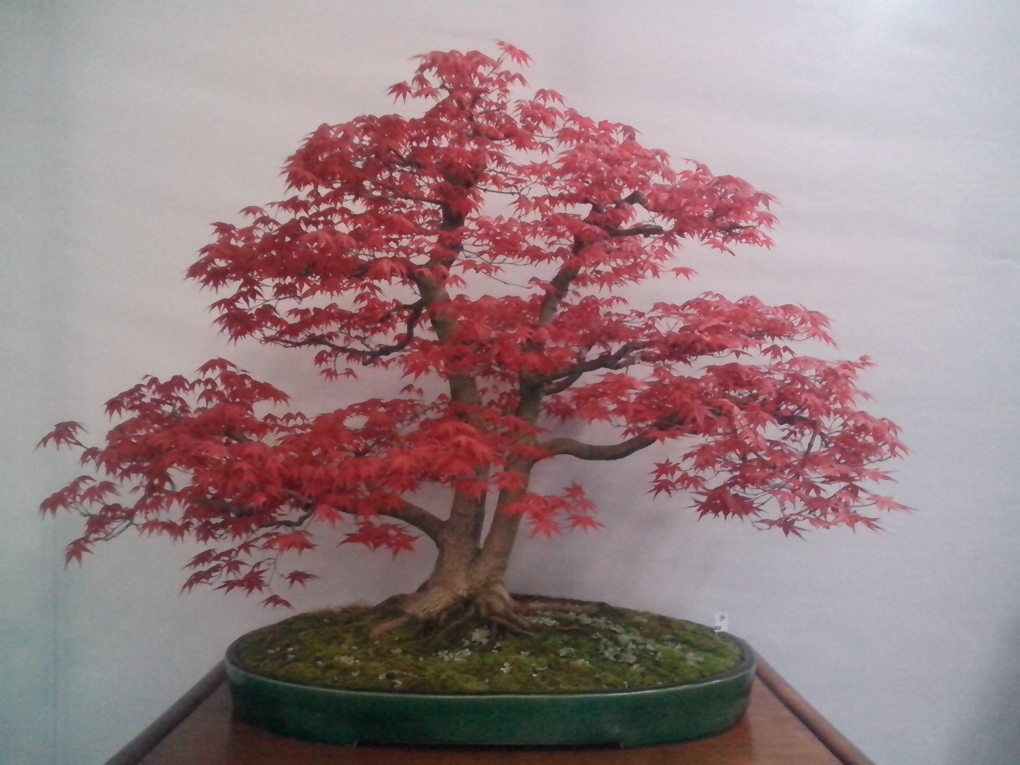 Acero bonsai attrezzi e vasi per bonsai creare un for Acero bonsai vendita