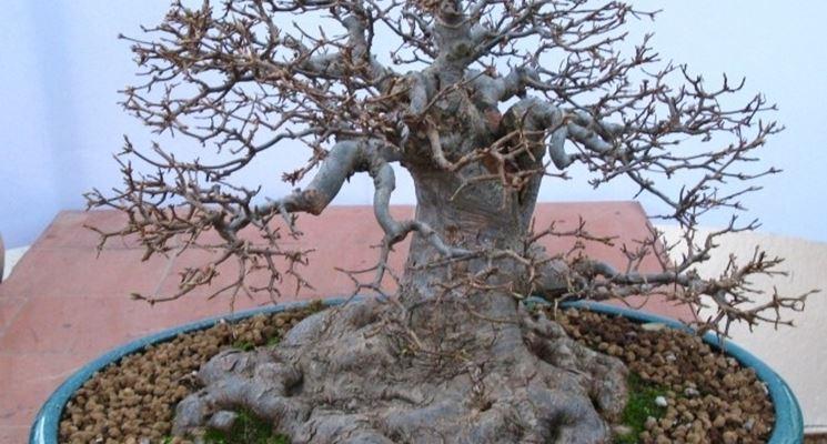 Un bonsai di acero rosso spoglio