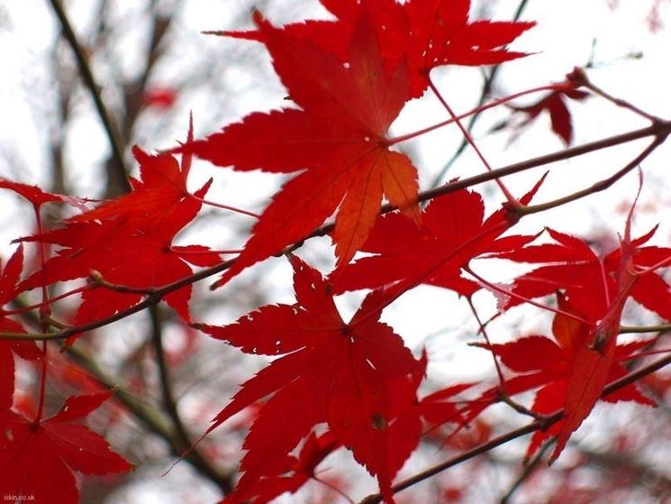 Le tipiche foglie dell'acero rosso