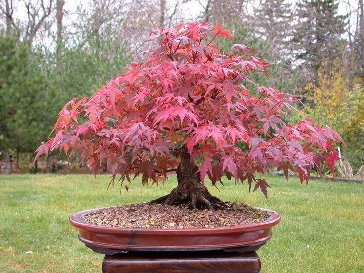 Un bellissimo bonsai di acero rosso