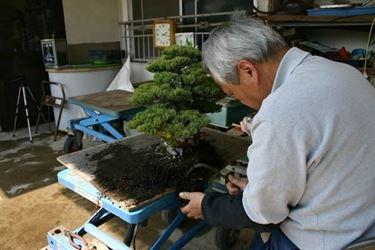 Sostituzione dell'akadama di un bonsai