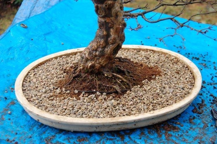 Akadama posta in vaso alla base di un bonsai