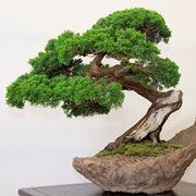 bonsai albero verde