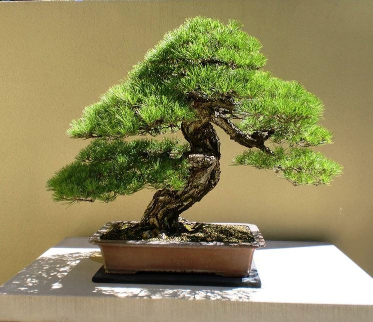 bonsai pino marittimo