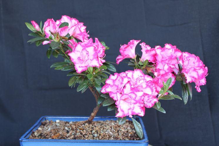 Un bel bonsai di azalea dai fiori variegati