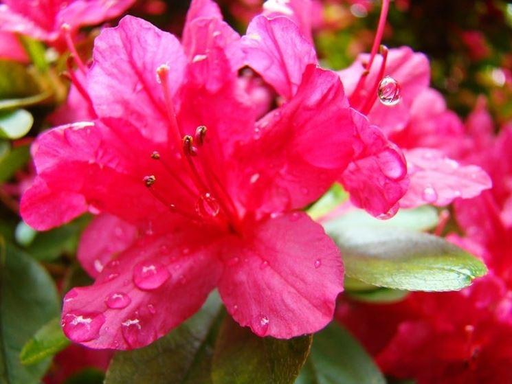 Un bellissimo esempio di fiore di azalea