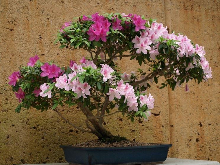 Un bonsai di azalea dai fiori di diverso colore