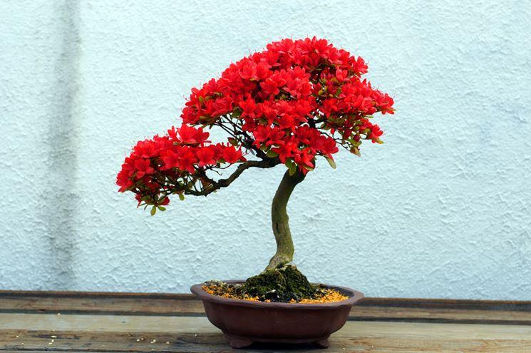 Un esemplare di bonsai di azalea dai fiori rossi