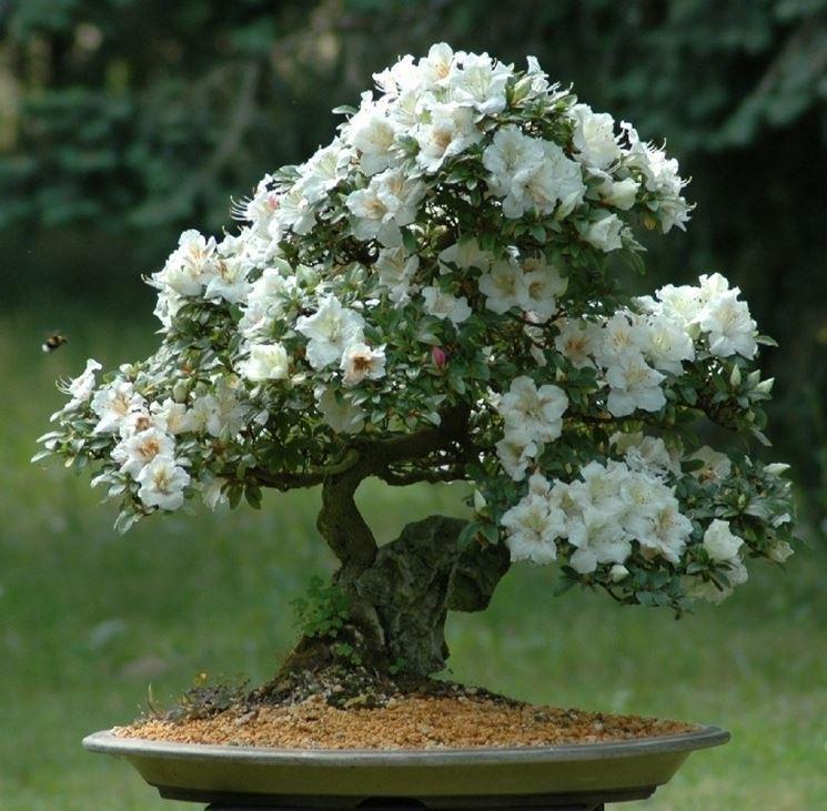 Bonsai Azalea japonica