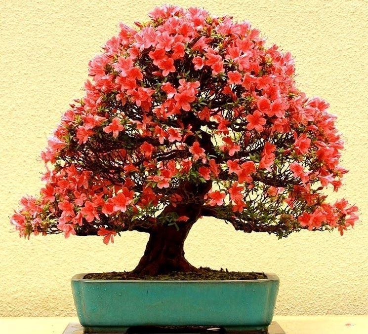 Bonsai in fiore di Azalea japonica