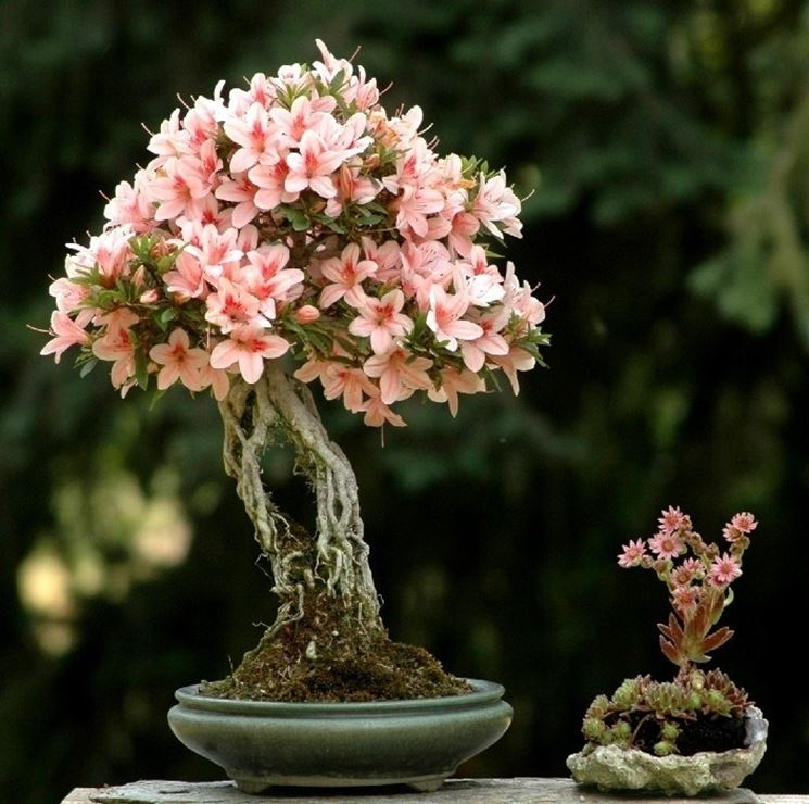 Bonsai di Azalea japonica