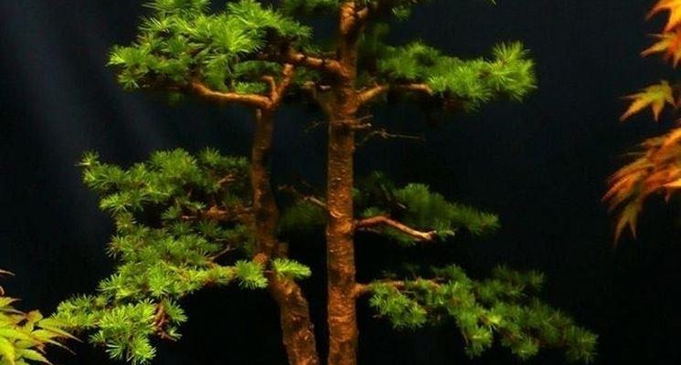 Esemplare di Bonsai Abete