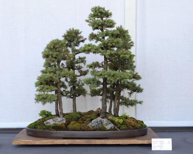 Una composizione bonsai di abete rosso