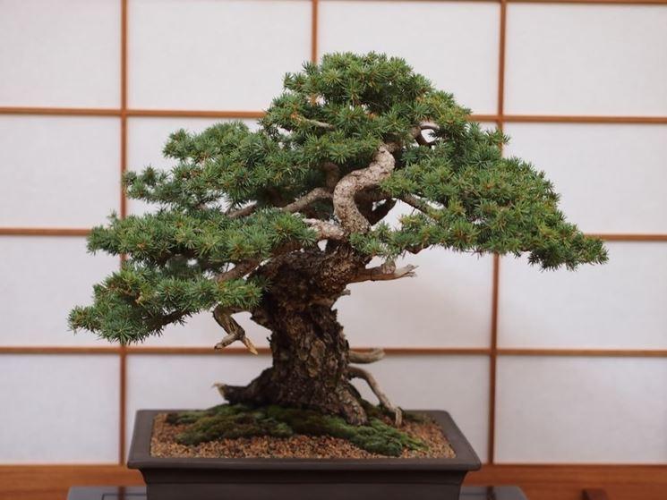 Uno splendido bonsai di abete