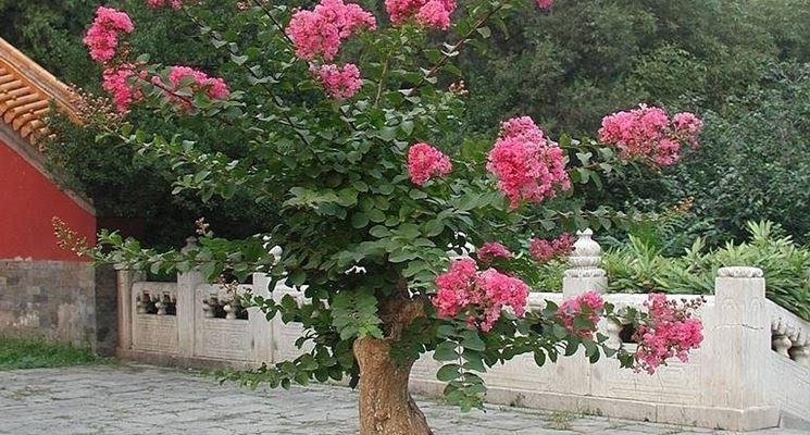 Bonsai di azalea