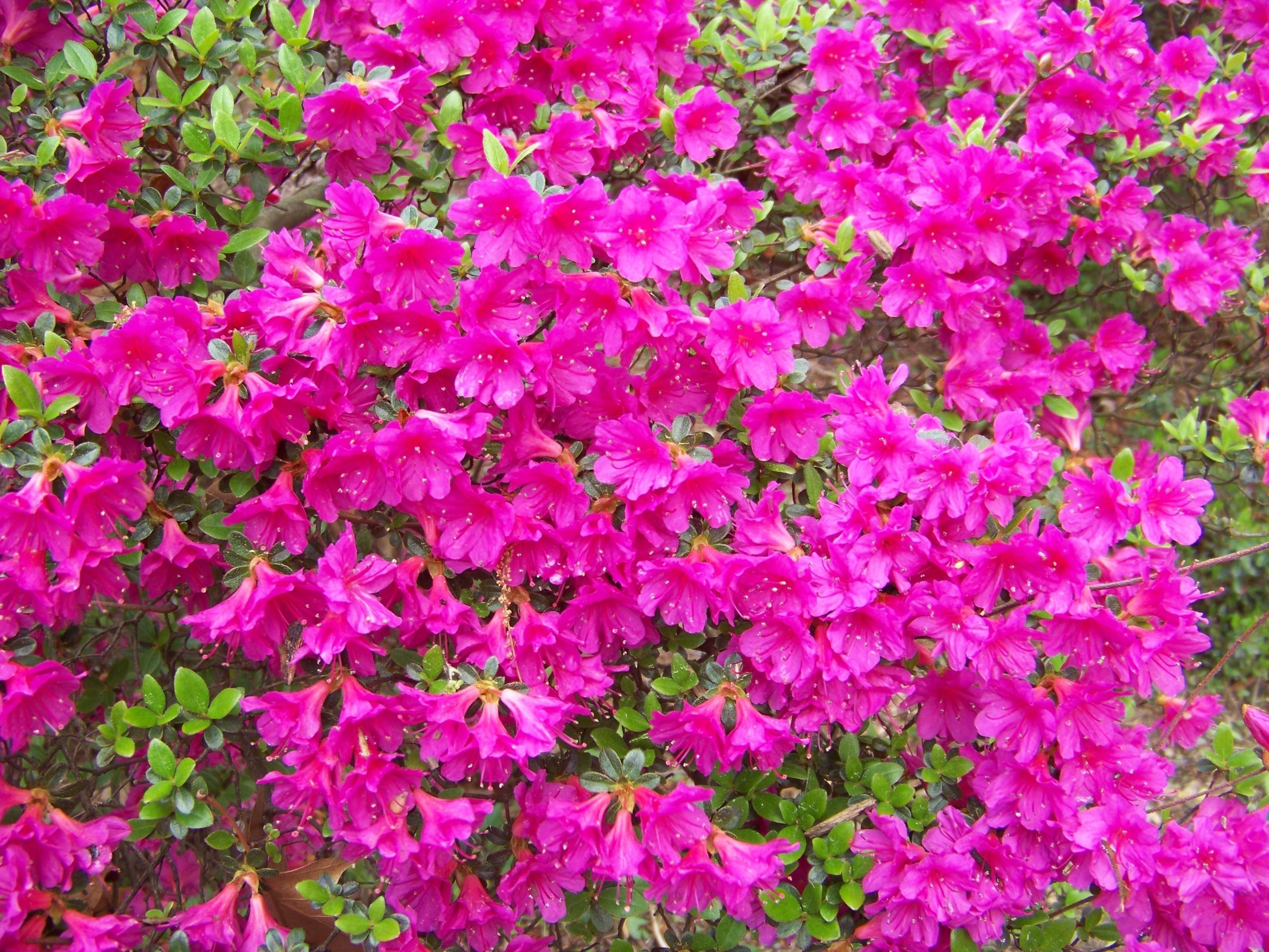 Bonsai azalea attrezzi e vasi per bonsai bonsai di azalea - Azalea foglie ...
