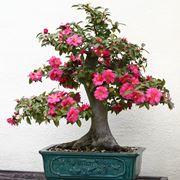 Bonsai camelia fiorito