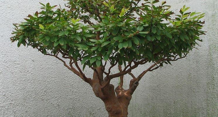 Bonsai camelia durante il periodo vegetativo