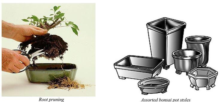 Rinvaso del bonsai camelia
