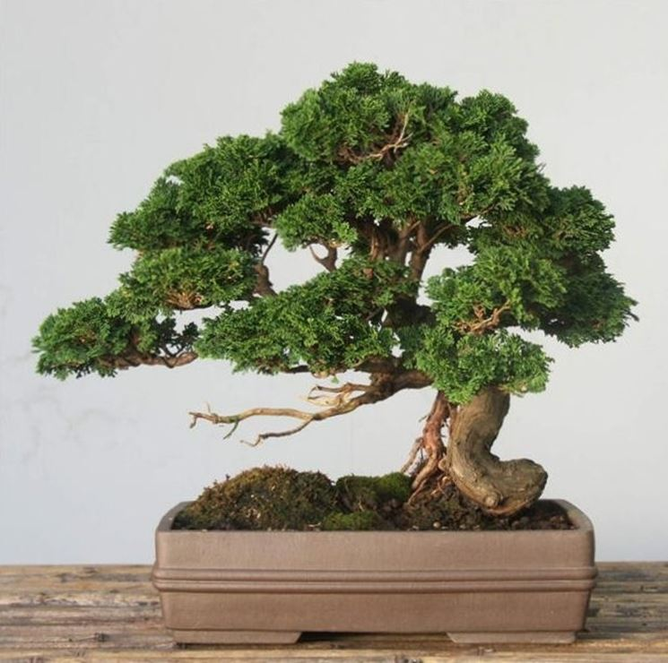 Bonsai Chamaecyparis obtusa