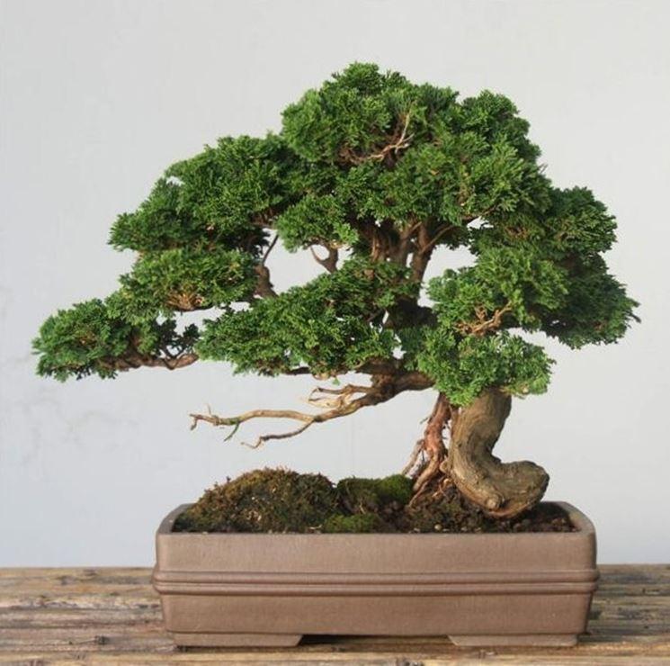 Bonsai Chamaecyparis obtusa