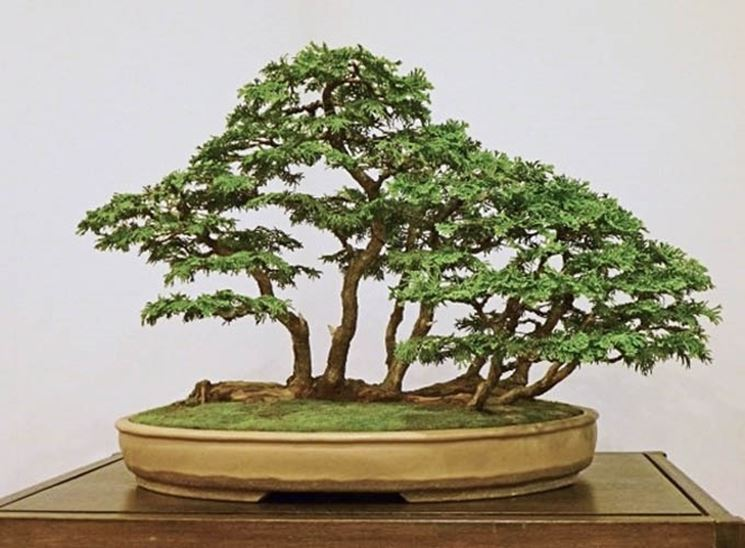 Bonsai di Chamaecyparis obtusa
