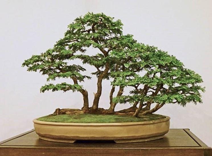Bonsai di Chamaecyparis obtusa