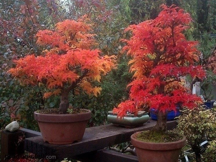 Acero bonsai in autunno
