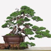Bonsai da esterno attrezzi e vasi per bonsai bonsai da for Vasi per bonsai prezzi